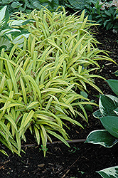 Banana Boat Broadleaf Sedge (Carex siderosticha 'Banana Boat') at Wasco Nursery