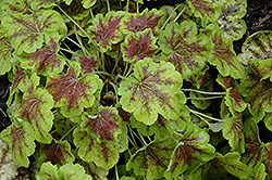 Solar Eclipse Foamy Bells (Heucherella 'Solar Eclipse') at Wasco Nursery