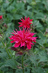Fireball Beebalm (Monarda didyma 'Fireball') at Wasco Nursery