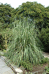 Pampas Grass (Erianthus ravennae) at Wasco Nursery