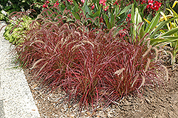 Fireworks Fountain Grass (Pennisetum setaceum 'Fireworks') at Wasco Nursery