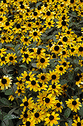 Brown Eyed Susan (Rudbeckia triloba) at Wasco Nursery
