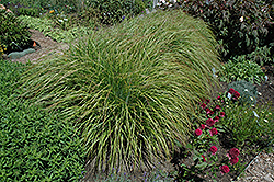 Desert Plains Fountain Grass (Pennisetum alopecuroides 'Desert Plains') at Wasco Nursery