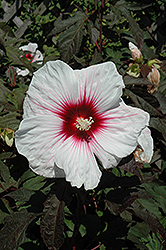 Kopper King Hibiscus (Hibiscus 'Kopper King') at Wasco Nursery