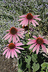 Prairie Splendor Coneflower (Echinacea purpurea 'Prairie Splendor') at Wasco Nursery