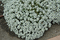Clear Crystal White Sweet Alyssum (Lobularia maritima 'Clear Crystal White') at Wasco Nursery