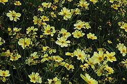Full Moon Tickseed (Coreopsis 'Full Moon') at Wasco Nursery