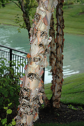 River Birch (Betula nigra) at Wasco Nursery