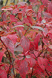 Red Osier Dogwood (Cornus sericea) at Wasco Nursery