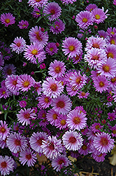 Purple Dome Aster (Aster novae-angliae 'Purple Dome') at Wasco Nursery