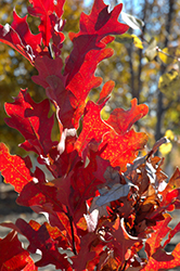 Crimson Spire Oak (Quercus 'Crimson Spire') at Wasco Nursery