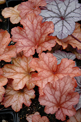 Paprika Coral Bells (Heuchera 'Paprika') at Wasco Nursery