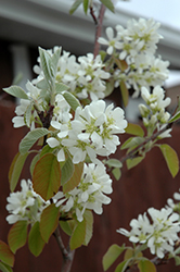 Standing Ovation™ Saskatoon Berry (Amelanchier alnifolia 'Obelisk') at Wasco Nursery