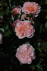 Apricot Drift® Rose (Rosa 'Meimirrote') at Wasco Nursery