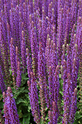 East Friesland Sage (Salvia nemorosa 'East Friesland') at Wasco Nursery