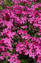 Drummond's Pink Moss Phlox (Phlox subulata 'Drummond's Pink') at Wasco Nursery