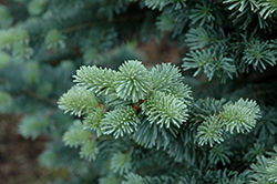 Compact Alpine Fir (Abies lasiocarpa 'Compacta') at Wasco Nursery