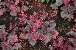 Milan Coral Bells (Heuchera 'Milan') at Wasco Nursery