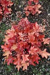 Peach Flambe Coral Bells (Heuchera 'Peach Flambe') at Wasco Nursery