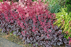 Glitter Coral Bells (Heuchera 'Glitter') at Wasco Nursery