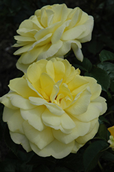 Yellow Brick Road Rose (Rosa 'Yellow Brick Road') at Wasco Nursery