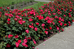 Knock Out® Rose (Rosa 'Radrazz') at Wasco Nursery