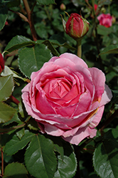 Princess Alexandra Of Kent Rose (Rosa 'Ausmerchant') at Wasco Nursery