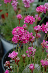 Splendens Sea Thrift (Armeria maritima 'Splendens') at Wasco Nursery