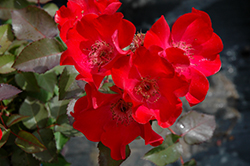 Screaming Neon Red™ Rose (Rosa 'BAIneon') at Wasco Nursery