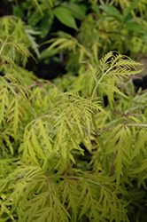 Lemony Lace® Elder (Sambucus racemosa 'SMNSRD4') at Wasco Nursery