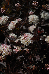 Tiny Wine® Ninebark (Physocarpus opulifolius 'SMPOTW') at Wasco Nursery