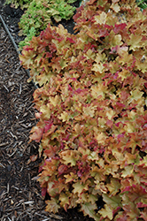 Caramel Coral Bells (Heuchera 'Caramel') at Wasco Nursery