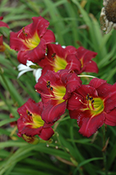 Pardon Me Daylily (Hemerocallis 'Pardon Me') at Wasco Nursery