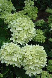 Little Lime® Hydrangea (Hydrangea paniculata 'Jane') at Wasco Nursery
