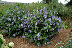 Blue Chiffon® Rose of Sharon (Hibiscus syriacus 'Notwoodthree') at Wasco Nursery