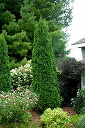 North Pole® Arborvitae (Thuja occidentalis 'Art Boe') at Wasco Nursery