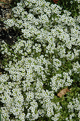 Snow Princess Alyssum (Lobularia 'Snow Princess') at Wasco Nursery