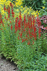 Cardinal Flower (Lobelia cardinalis) at Wasco Nursery