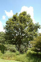 Swamp Chestnut Oak (Quercus michauxii) at Wasco Nursery
