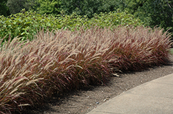 Purple Fountain Grass (Pennisetum setaceum 'Rubrum') at Wasco Nursery