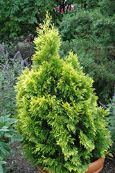Forever Goldy Arborvitae (Thuja plicata '4ever') at Wasco Nursery