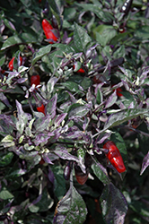 Calico Ornamental Pepper (Capsicum annuum 'Calico') at Wasco Nursery