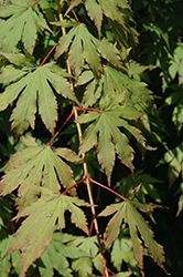 North Wind Japanese Maple (Acer 'IsINW') at Wasco Nursery