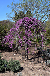 Lavender Twist Redbud (Cercis canadensis 'Covey') at Wasco Nursery