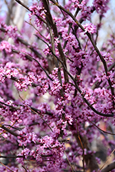 Ace Of Hearts Redbud (Cercis canadensis 'Ace Of Hearts') at Wasco Nursery