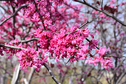 Appalachian Red Redbud (Cercis canadensis 'Appalachian Red') at Wasco Nursery