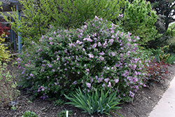 Bloomerang® Lilac (Syringa 'Bloomerang') at Wasco Nursery