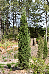 Taylor Redcedar (Juniperus virginiana 'Taylor') at Wasco Nursery