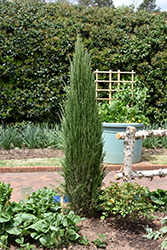Blue Arrow Juniper (Juniperus scopulorum 'Blue Arrow') at Wasco Nursery