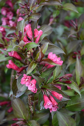 Shining Sensation™ Weigela (Weigela florida 'Bokrashine') at Wasco Nursery